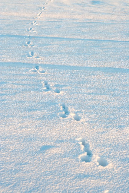 Free winter snow rabbit tracks animal tracks