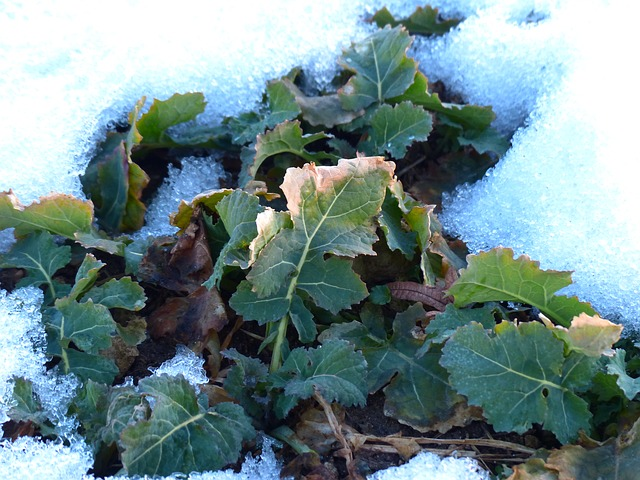 Free winterkohl winterfrucht kohl brassica leaves