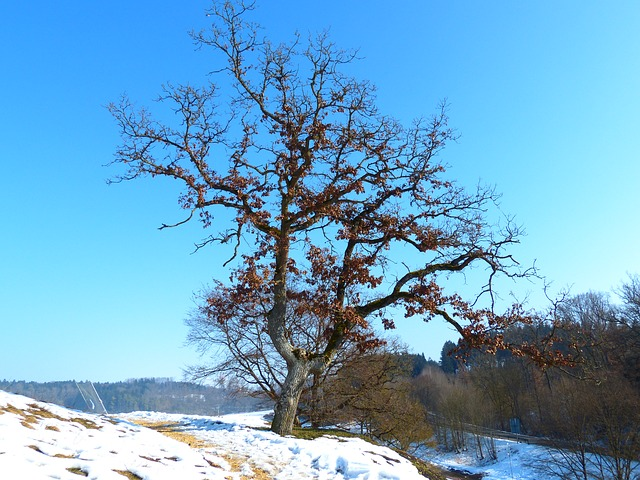 Free tree oak winter cold ice blue sky sky blue