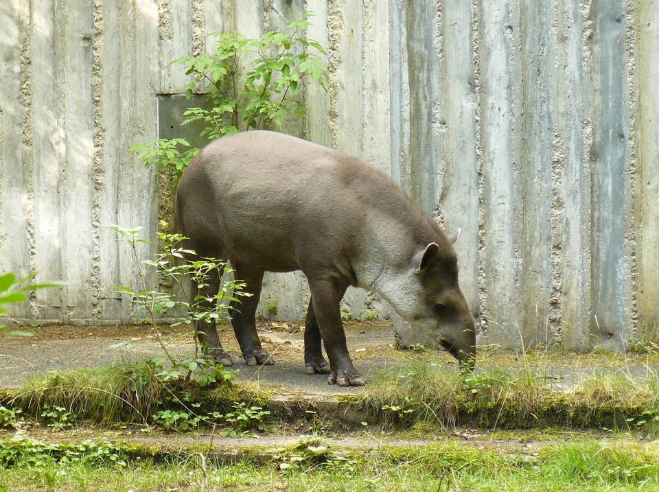 Free Brazilian tapir Lowland tapir Tapirus terrestris