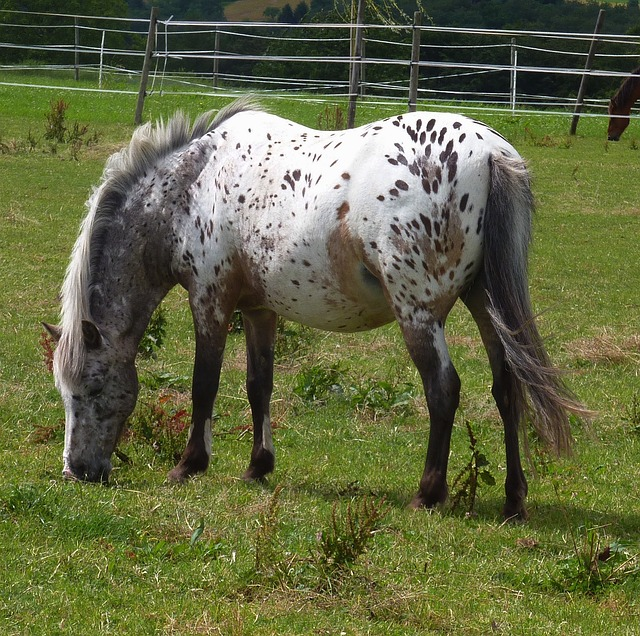 Free horse equine spotted spots grazing pasture meadow