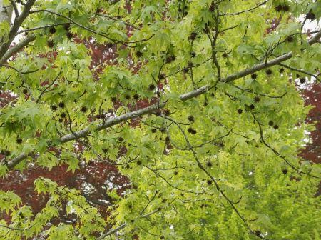 Free Summer foliage of American sweetgum