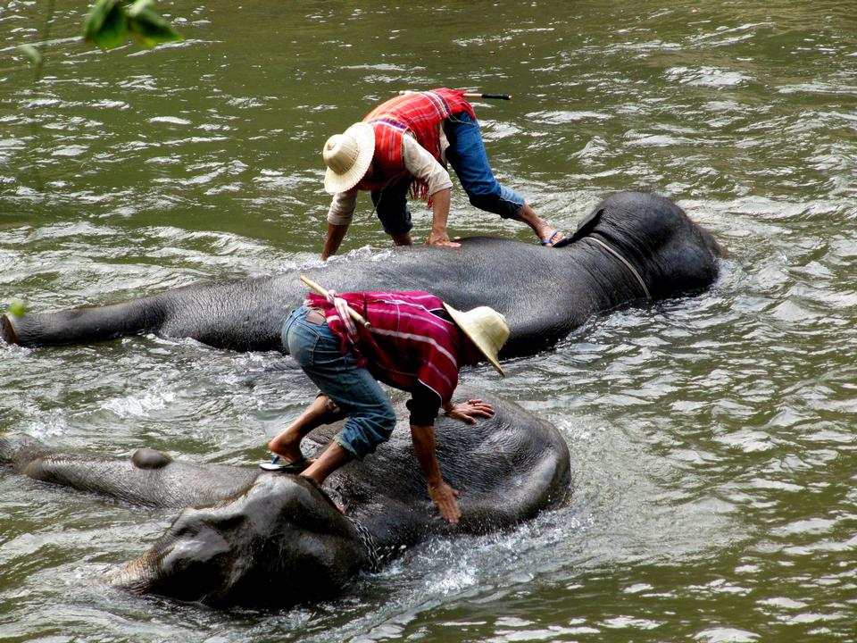 Free Elephant group in the river