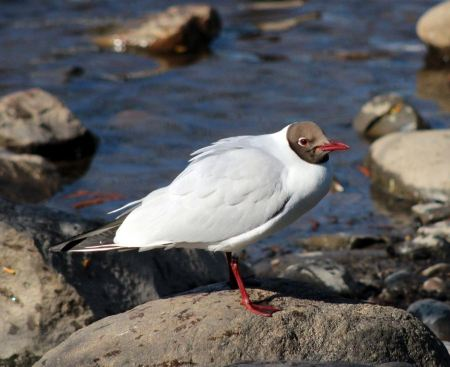 Free Black-headed Gull - Larus ridibundus