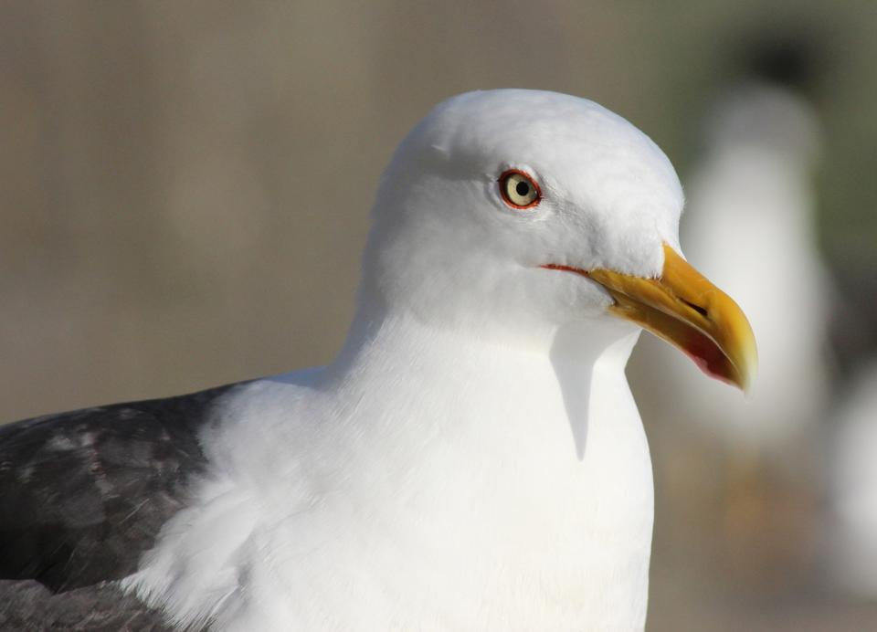 Free A Lesser Black-Backed Gull - Larus fuscus