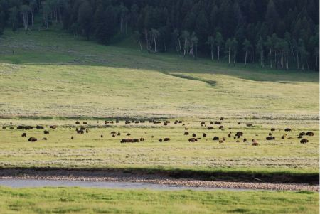 Free Buffalo Bison crossing a river in Lamar Valley Yellowstone