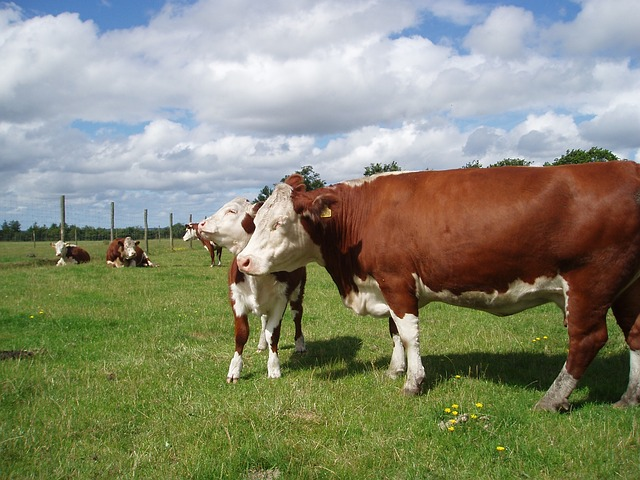 Free cattle hereford sky clouds farm rural field