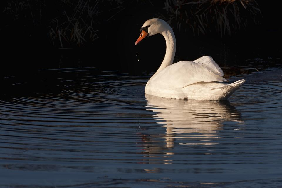 Free A mute swan with reflection against a black background