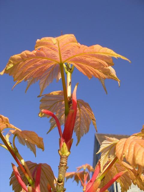 Free plant autumn leaves vine leave