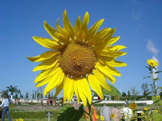 Free sun flower sunflower seeds plant yellow flower sun