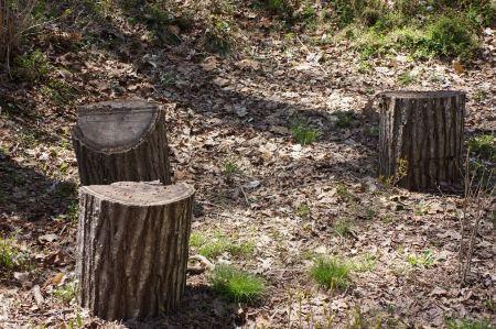 Free Stump of cut trees