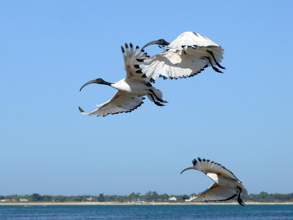 Free African Sacred Ibis in flight over water