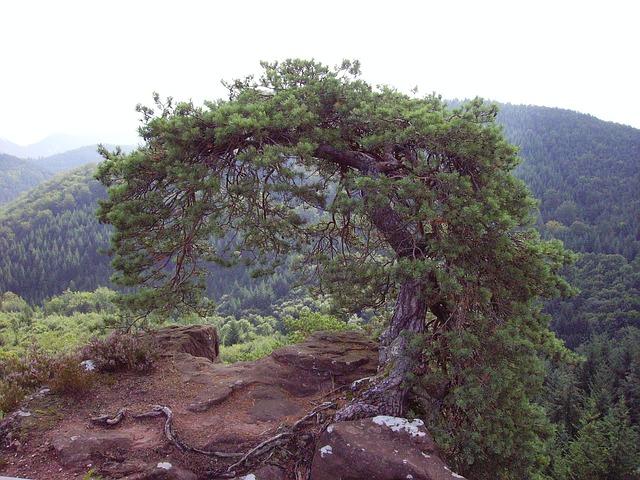 Free pine tree palatinate sand stone rock