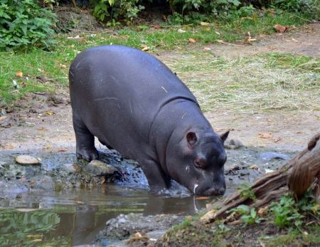 Free Hippopotamus walking on river bank
