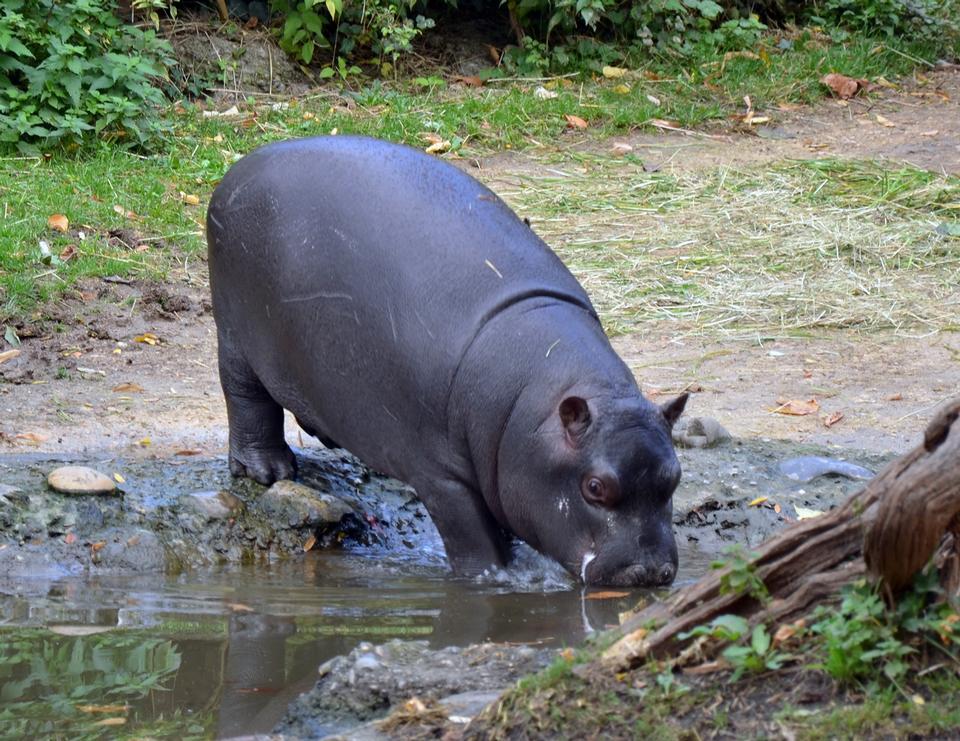 Free Hippopotamus walking on river bank