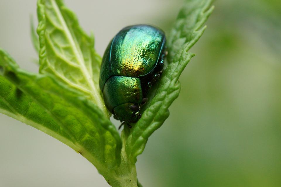 Free Green dock beetle, Gastrophysa viridula sitting on leaf