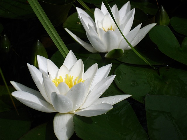 Free water lilies white blade green insect summer