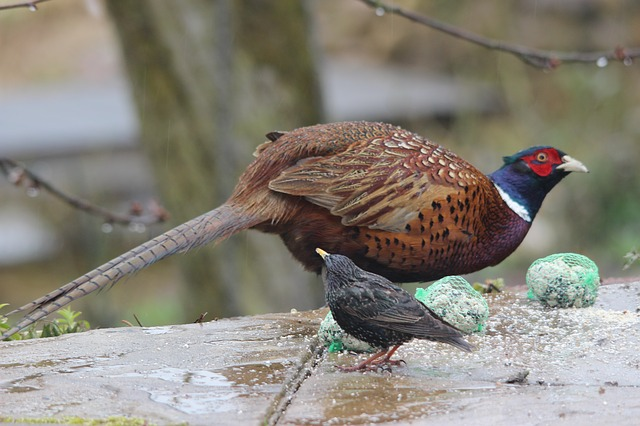 Free pheasant star birds winter dress plumage wing