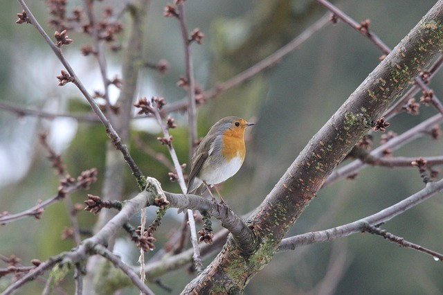 Free robin bird nature pets beautiful pretty garden