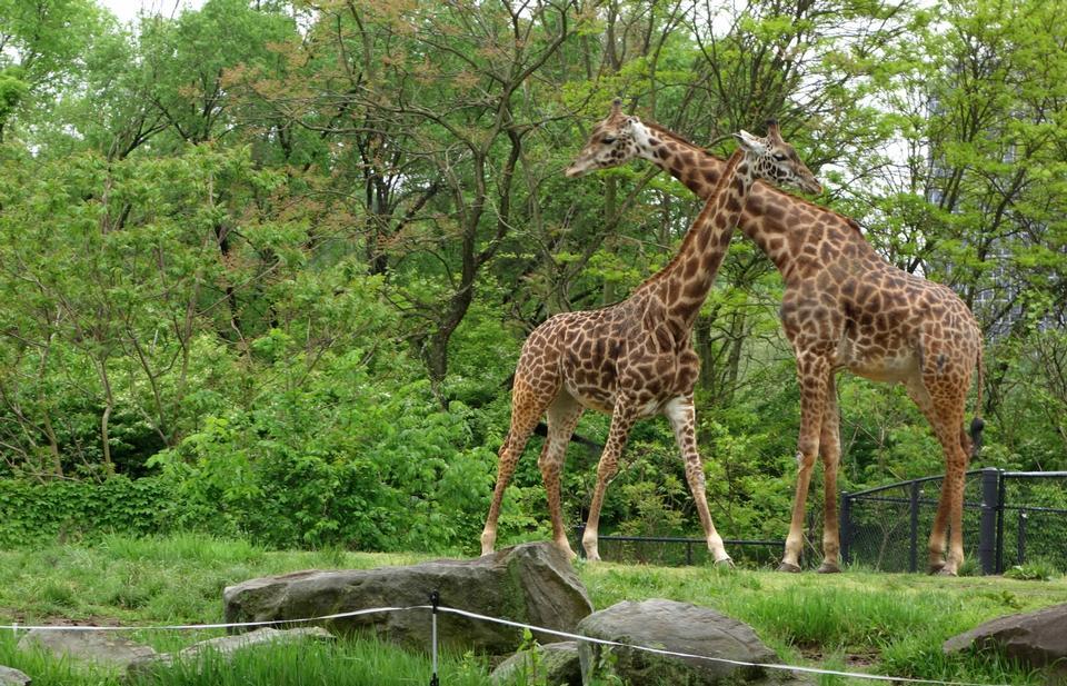 Free Giraffes - Pittsburgh Zoo
