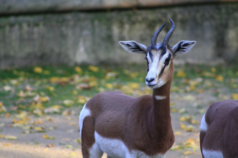 Free Dama gazelle