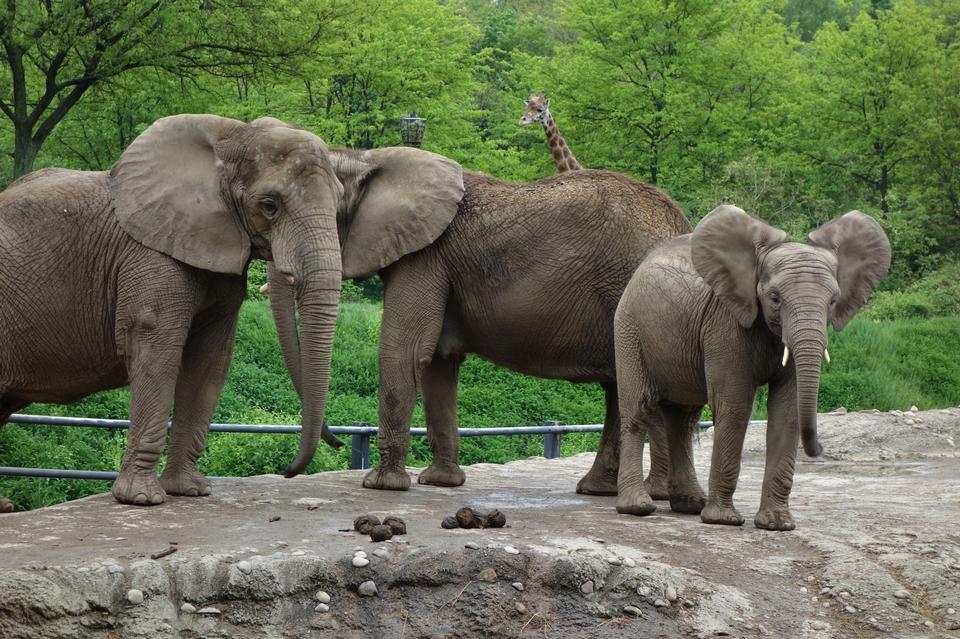 Free Three African elephants