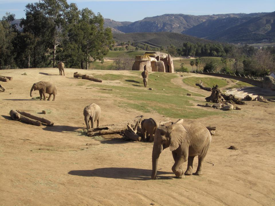 Free African elephant mother and babies
