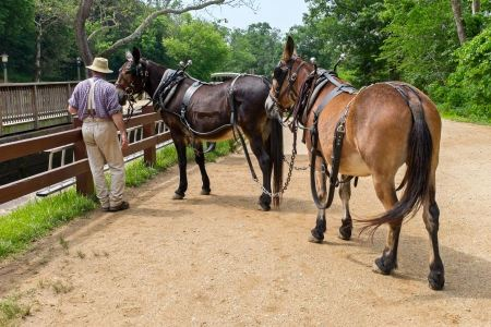 Free A couple mules waiting to pull a boat in Great Falls MD