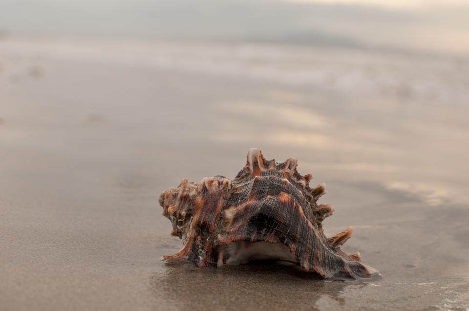 Free Chicoreus ramosus Colorful Giant shell on the beach