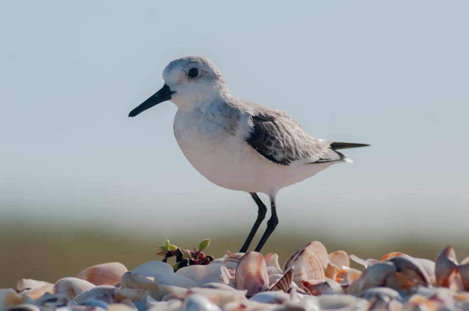 Free Calidris alba  running in White Sand