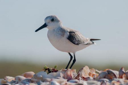 Free Calidris alba  running in White Sand
