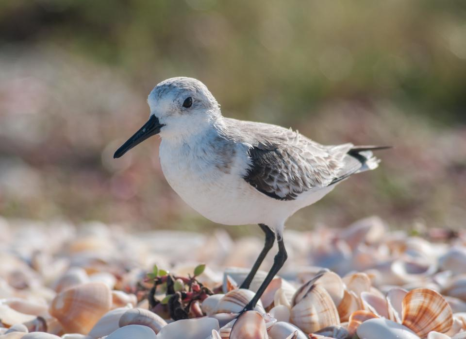 Free Photos: Calidris alba  running in White Sand | Jurassic