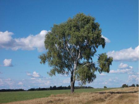 Free Field,tree and blue sky