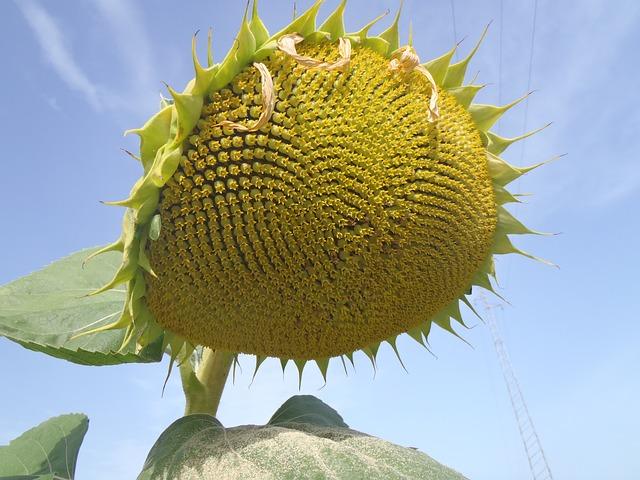 Free sunflower tuscany italy