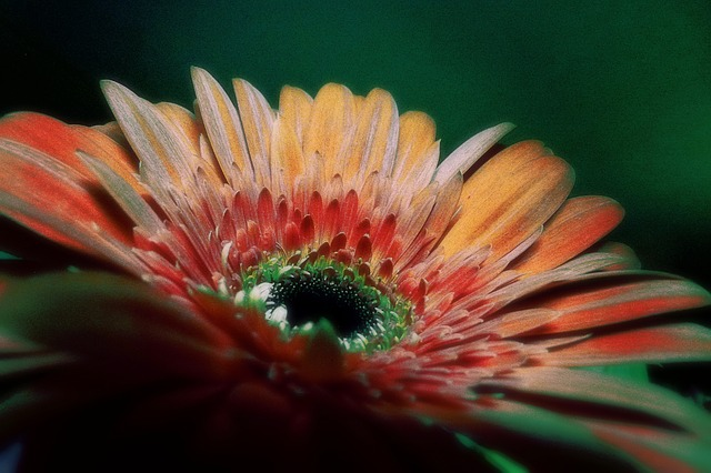 Free gerbera flower colored plant nature macro