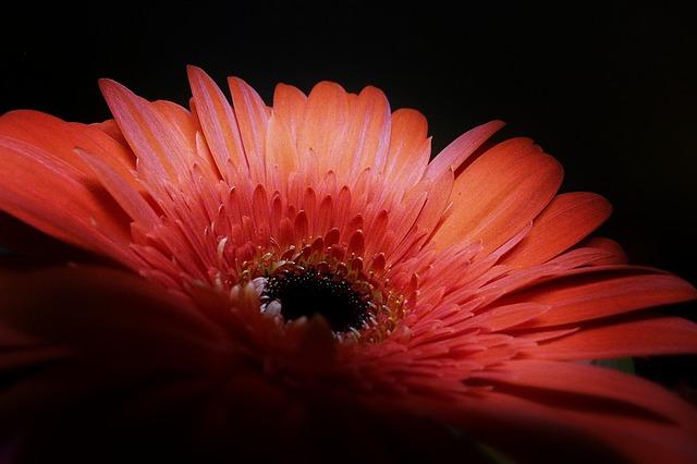 Free red gerbera flower plant nature macro close-up