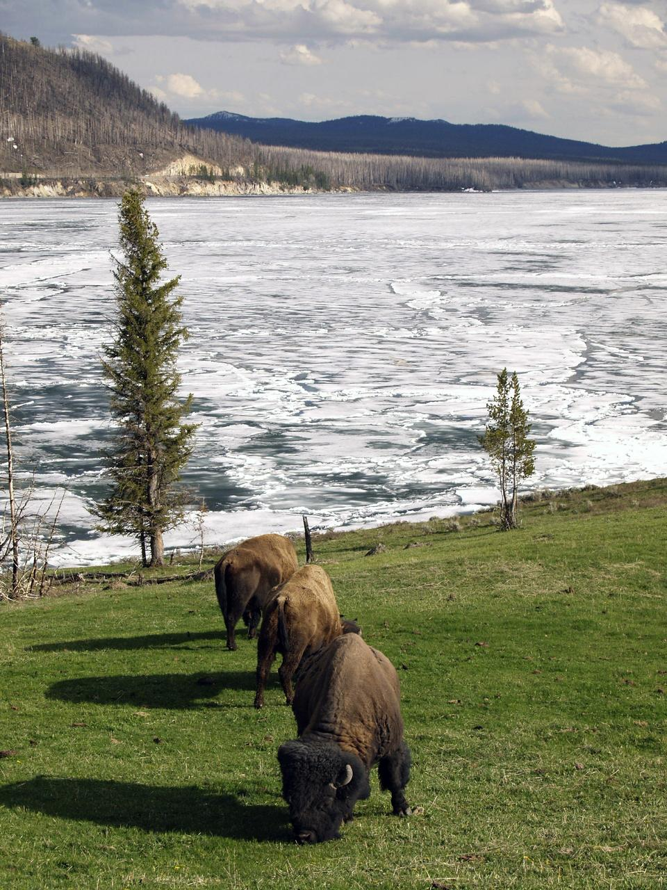 Free Herd of American Bison Yellowstone National Park