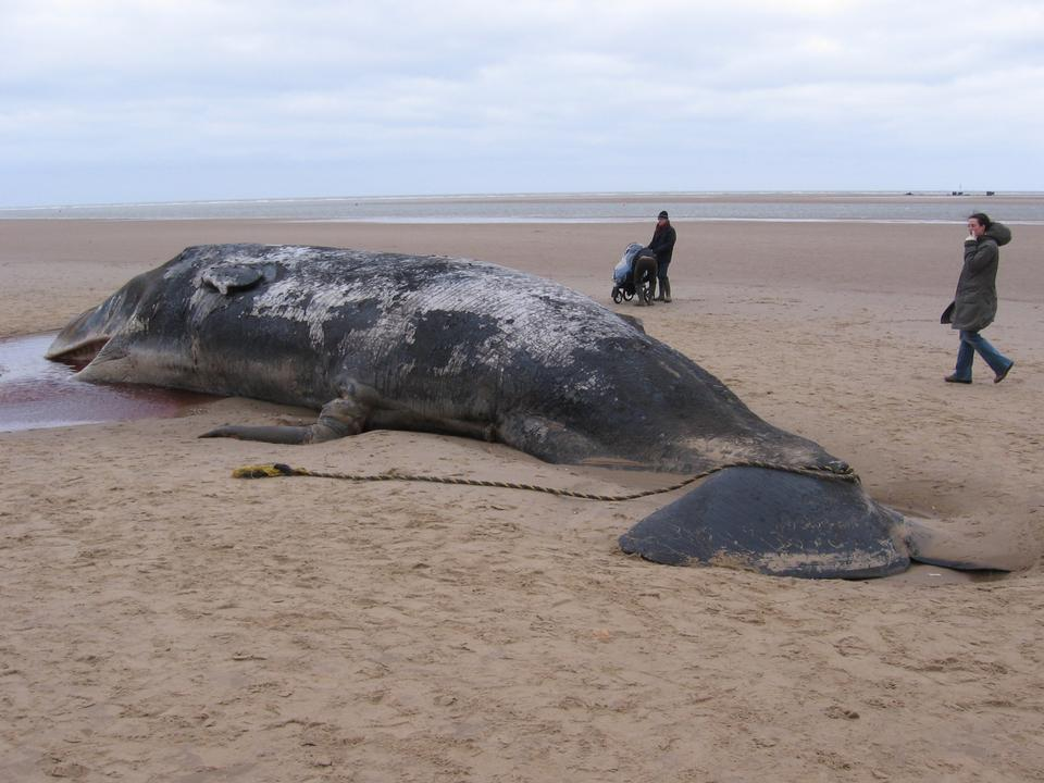 Free Beached sperm whale, Norfolk