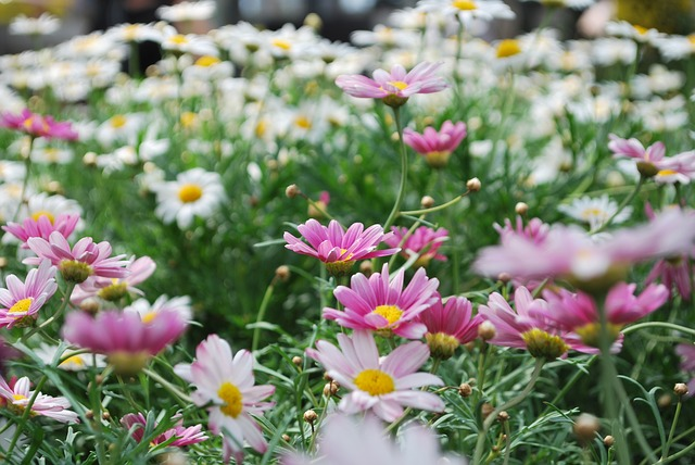 Free flower pink flowers rose daisies white garden