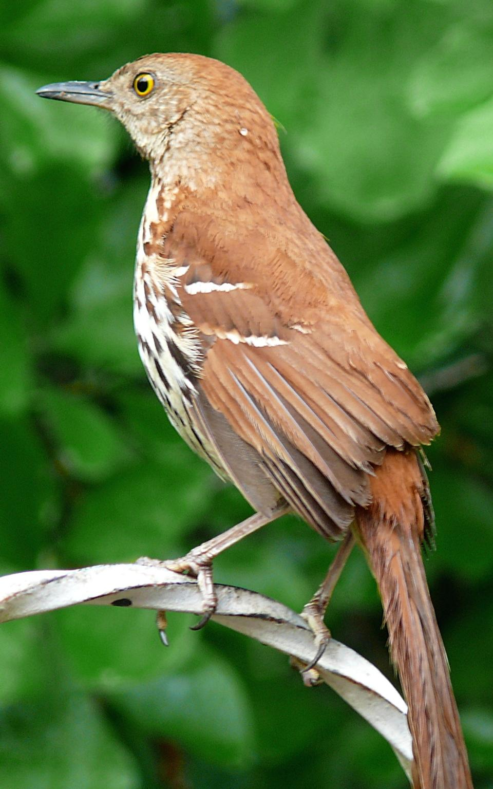 Free Brown Thrasher pauses briefly on an open perch