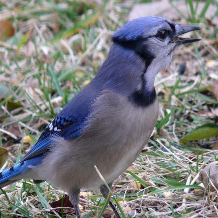Free Blue Jay