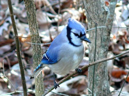 Free A blue jay perched on a tree branch