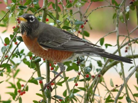 Free American robin sitting on a tree.