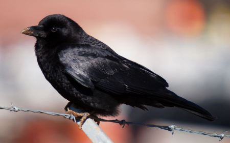 Free American Crow