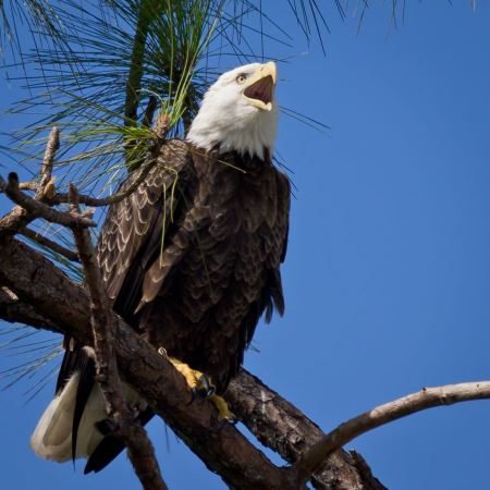 Free Bald Eagle resting on a perch