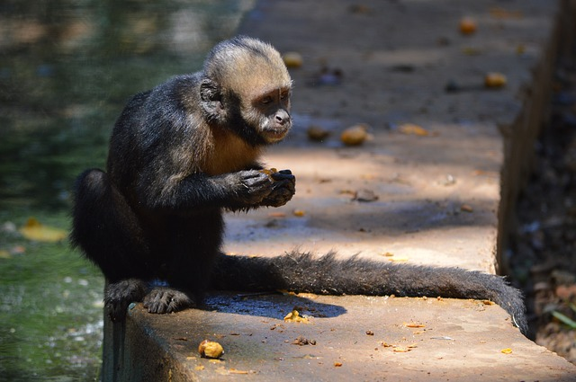Free monkey animals salvador bahia