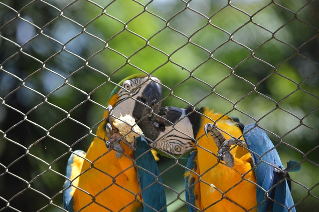 Free macaws kissing bird tropical birds animal arara