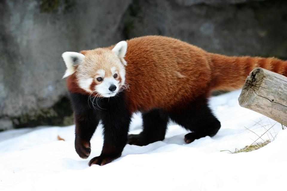 Free Red Panda