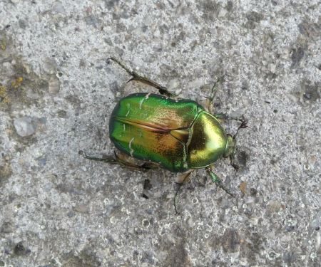 Free The Flower Chafer is a beautiful, shiny, emerald green