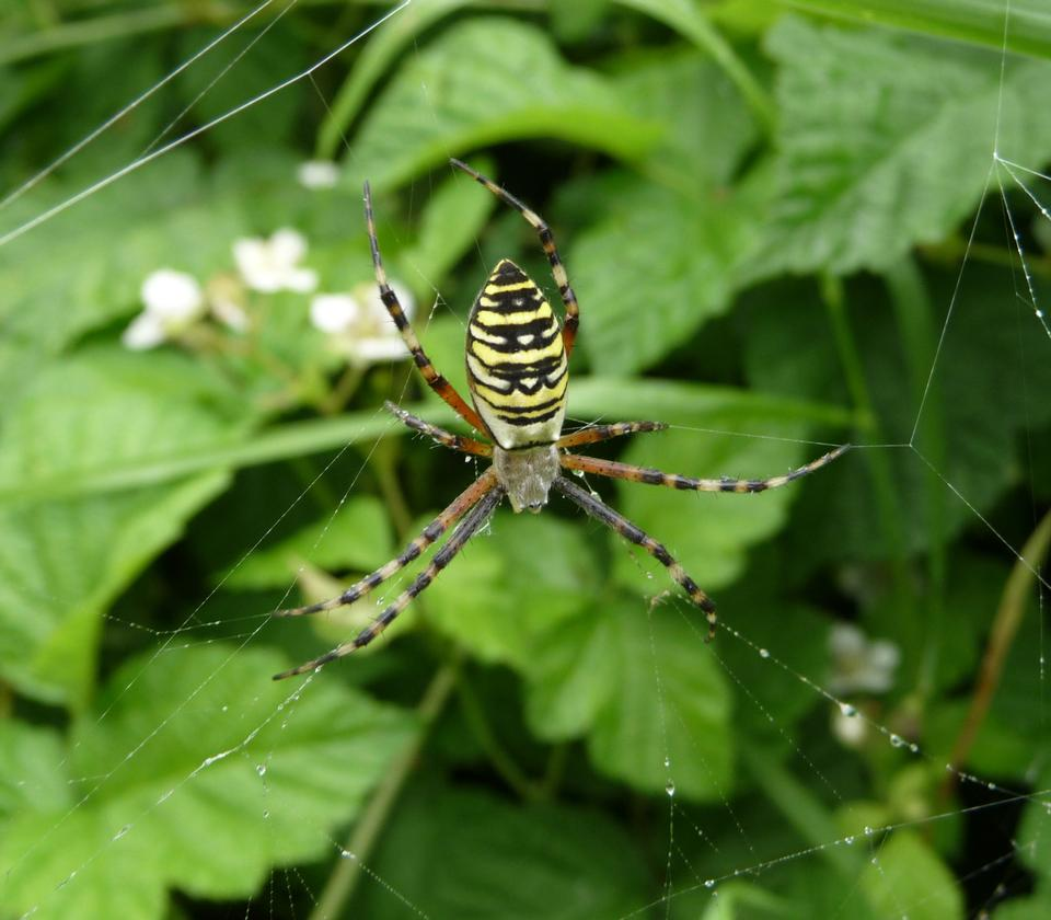 Free A spider, Argiope bruennichi, of considerable size